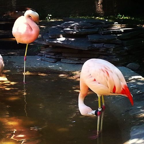I dont think the flamingo likes his tag. __________________________________________ Photographers Photo Photooftheday Picoftheday Flamingo Zoo Capemay Newjersey Nj Sj  Instagood Instalike Capture Android Africa Pink Animals Animalsofinstagram Follow Like