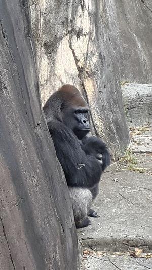 Animal Themes Animals In The Wild Endangered Species Gorilla Gorillas Mammal Wildlife Zoo Animals  Zoology
