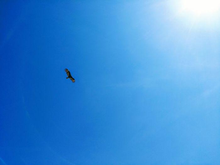 Azul al vuelo Eye4photography  Calm EyeEm Gallery Vuelo Vuelo De Aves Flying Bird Clear Sky Blue Mid-air Bird Of Prey Sky Fly Sky Only Plane