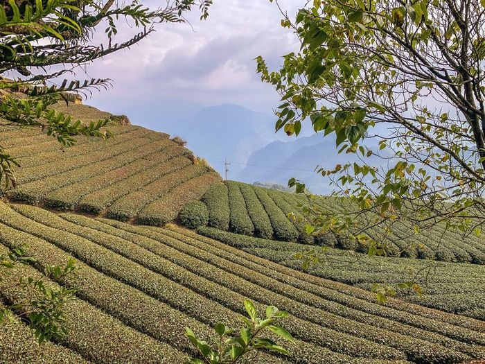 ShotOnIphone Ali Mountain Green Scenery Landscape Tea Plantation  Taiwan Plant Tree Sky Nature Day Growth No People Tranquil Scene Branch Outdoors Sunlight Beauty In Nature Low Angle View Tranquility Cloud - Sky Plant Part Green Color Scenics - Nature Land Idyllic