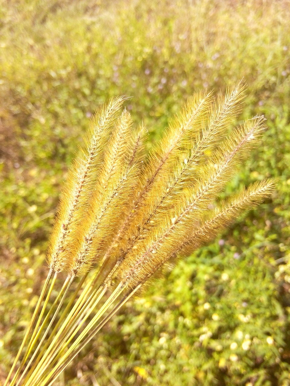 growth, nature, plant, no people, day, beauty in nature, green color, outdoors, field, close-up, focus on foreground, tranquility, fragility, freshness, wheat, grass, cereal plant