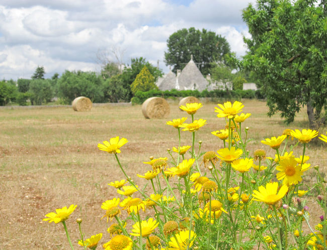 Yellow flowers in wheat field with trulli on background, traditional old houses in countryside, Puglia, Italy Nature Olive Tree Puglia Wheat Wheat Field Yellow Flower Agriculture Beauty In Nature Field Flower Head Growth Italy Landscape Nature Outdoors Rural Scene Scenics Spring Summer Tranquility Tree Trulli Houses Trullo Valle D'itria Yellow