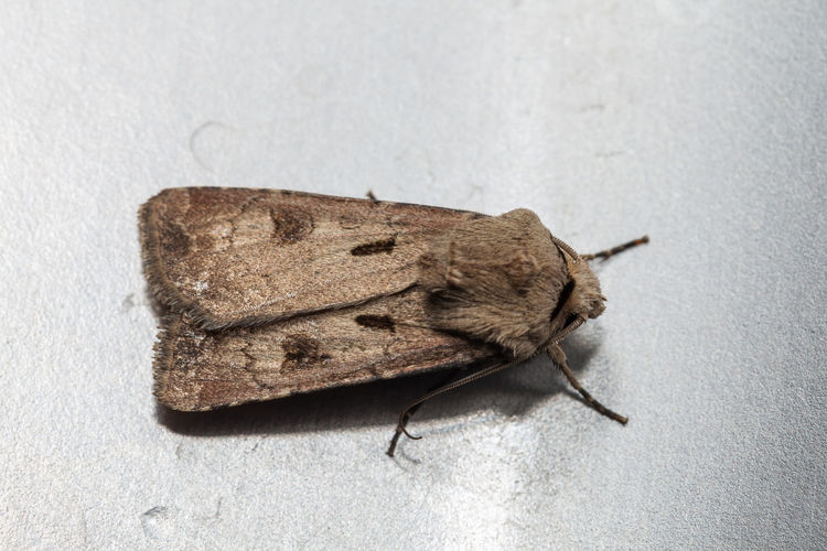 Gemeine Graseule Agrotina Agrotis Agrotis Exclamationis Butterfly Butterfly - Insect Gemeine Graseule Lepidoptera Lepidopteran Insects Nachtfalter Noctuidae Schmetterling Schmetterlinge
