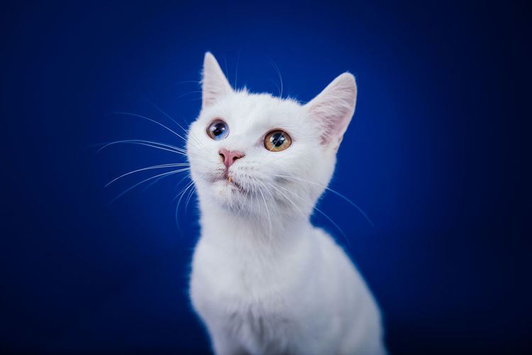 Close-up of white cat against blue background