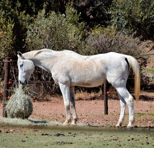 White horse eating Farm Yard Horse Horse Eating Horse Stable Large Animal Lusern Mammal White Horse