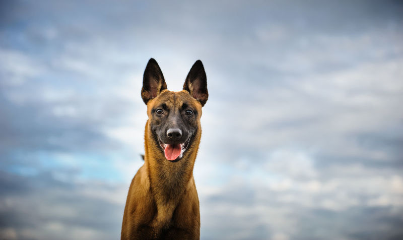 Belgian Malinois dog Animal Animal Head  Belgian Malinois Canine Cloud Day Dog Dogs Domestic Animals Mammal No People Outdoors Pet Pets Protection Protection Dog Sky