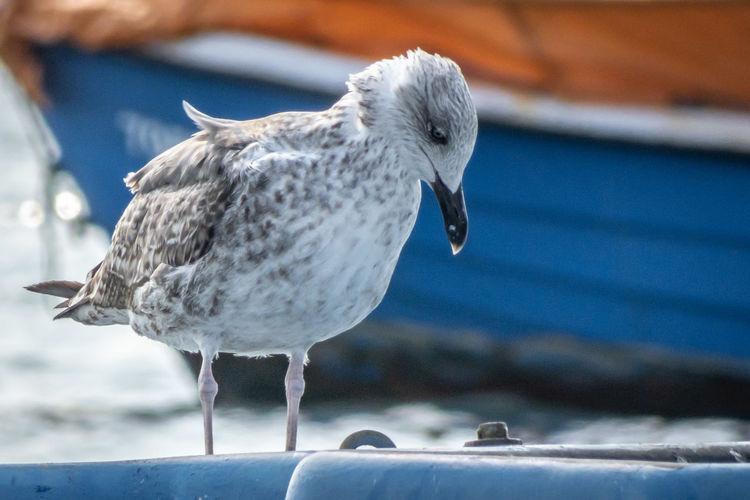 Close-up of seagull perching on boat