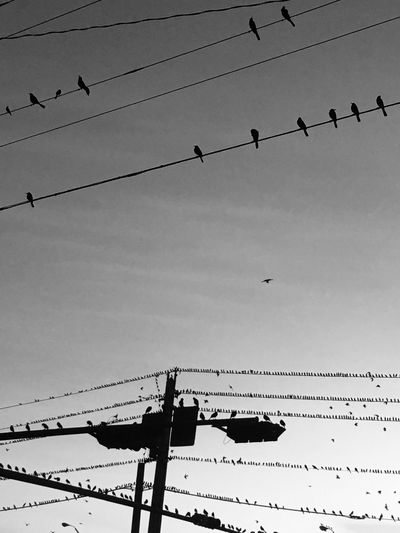 Cable Power Line  Bird Low Angle View Flock Of Birds Animals In The Wild Power Supply Large Group Of Animals Animal Themes Sky Outdoors Animal Wildlife Electricity Pylon Connection Electricity  Silhouette Day Telephone Line Flying No People