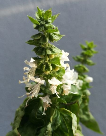 Basil Flowers,