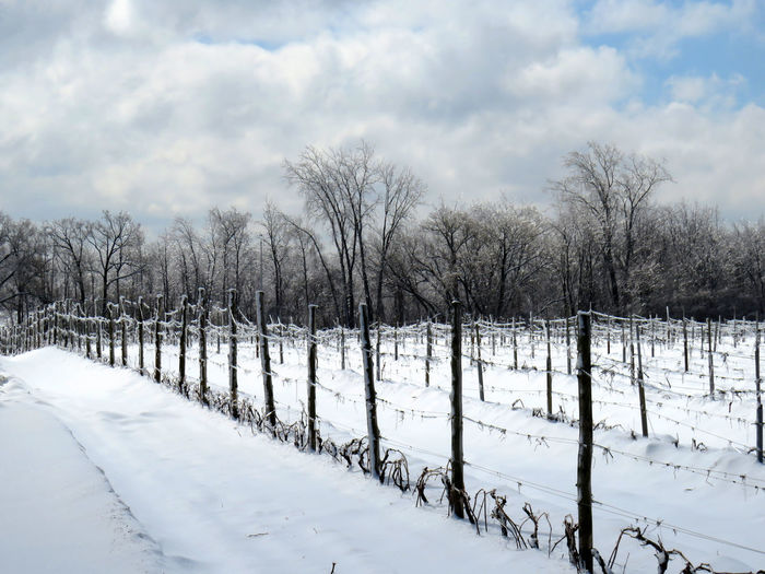 Vineyard after a freezing rain storm in winter Snow Cold Temperature Winter Cloud - Sky Sky Tree White Color Bare Tree Nature No People Plant Tranquility Tranquil Scene Land Field Beauty In Nature Day Scenics - Nature Non-urban Scene Outdoors Vineyards  Vineyard Cultivation Vineyards In Winter