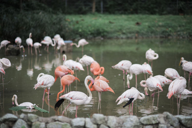 A group of flamingo in a pond