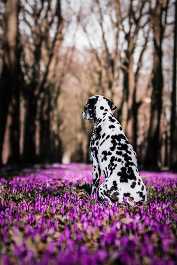 Dalmatian dog looking away in the middle of a crocus flower field Crocus Flower Looking Away Sitting Animal Animal Themes Beauty In Nature Canine Crocus Dalmatian Dog Dog Domestic Animals Flowering Plant Focus On Foreground Looking Away From Camera No People One Animal Purebred Dog Purple With Back To The Camera
