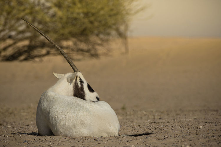 The Arabian oryx Dubai UAE Emirates Desert Animal Themes Animal Wildlife Anmial Oryx Arabian Oryx