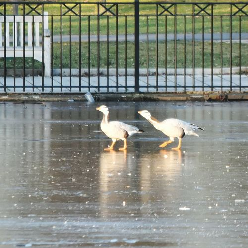 Geese Walking On Ice Frozen Lake Birds Animal Themes Nature Outdoors Ice Wintertime Adapted To The City Warande Park Helmond Reflections Fence Bench Grass Path Feathers