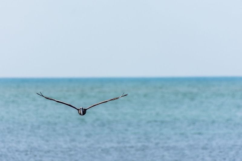 Fly Sea Horizon Over Water Water Nature Beauty In Nature No People Day Outdoors Animals In The Wild Sky Animal Themes Bird Pelican