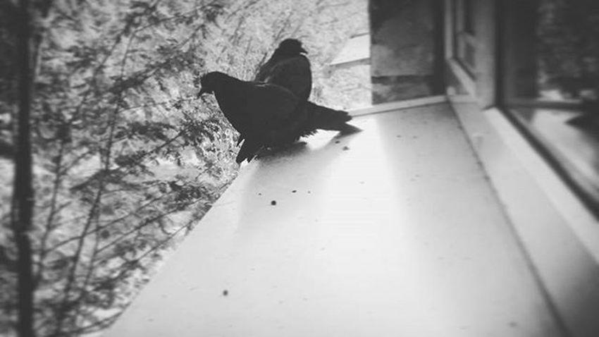 Сегодня меня посетили друзья Ирки 👌👍😃🐦🐦🐦дружба голубь голубьира Скучаю выходной вечер Friends Dove Dayoff Goodday