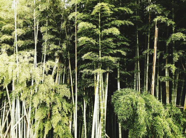 小田原市江之浦 Bamboo