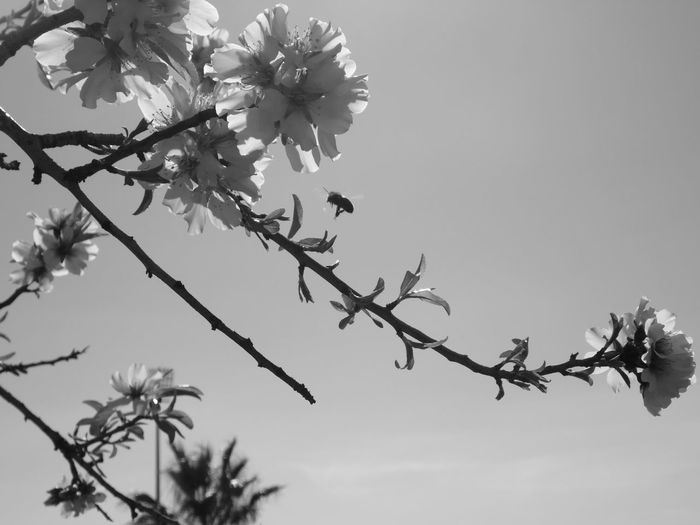 Beeeeeee Fotografia Photos Blackandwhite Portugal LoveBW Photography Blackandwhitephotography Love Bw_addicted Bw_art Bw_beautiful Darksky Portugal_em_fotos Photographerlife EyeEm Selects Bw_captures Olho_portugues Beauty In Nature Blossom Cherry Blossom Close-up Day Flower Fragility Freshness Growth Low Angle View Nature No People Outdoors Petal Sky Spring Springtime Twig Vulnerability