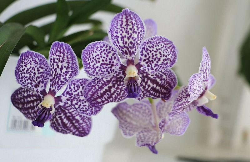 Vanda orchids Flower Fragility Close-up Nature Beauty In Nature Freshness Petal Flower Head Growth No People Blooming Plant Day Outdoors