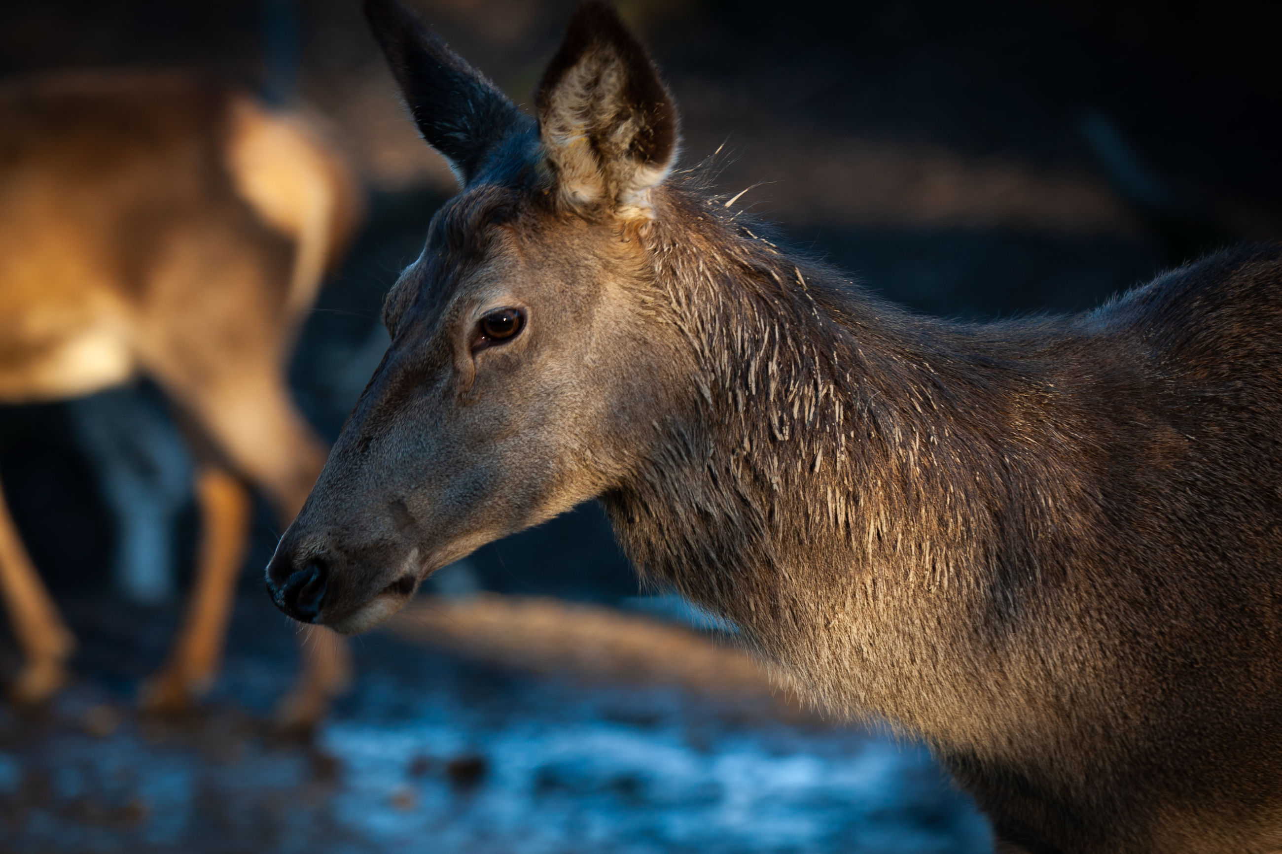 animal, mammal, animal themes, animal wildlife, one animal, vertebrate, animals in the wild, no people, close-up, focus on foreground, brown, looking away, animal body part, looking, domestic animals, nature, animal head, selective focus, outdoors, land, herbivorous, profile view