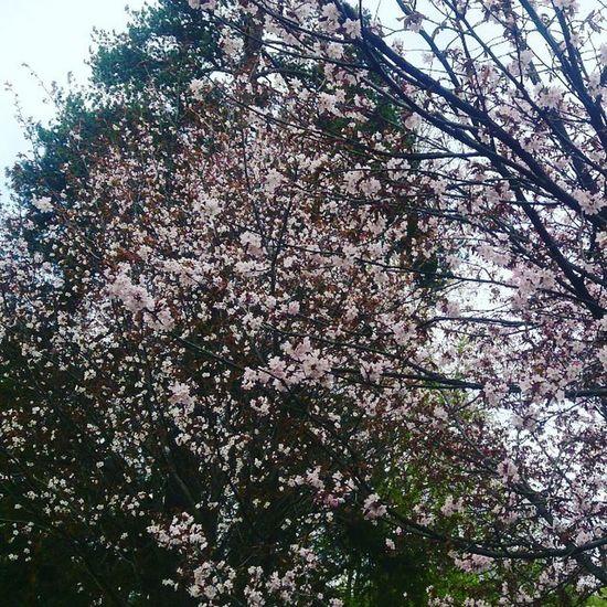 Не прошло и 6 лет... сакура Москва ботаническийсад весна