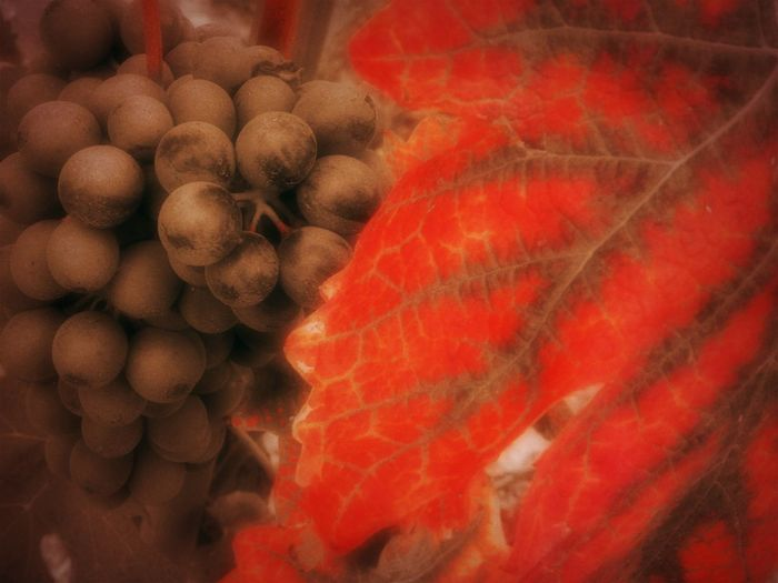 Piemonte, Italy Backgrounds Black And Red Close-up Day Food Freshness Healthy Eating Market No People Red Winegrapes Wineleafs