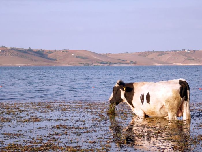 Cows on sea by mountain against sky