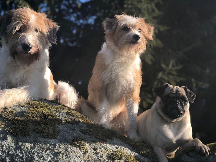 Die drei Grazien Two Kromfohrländer Aus Dem Einkreuzprojekt And Pug Three Dogs Dog Pets Domestic Animals Animal Themes Mammal Sunlight Togetherness Sitting No People Outdoors
