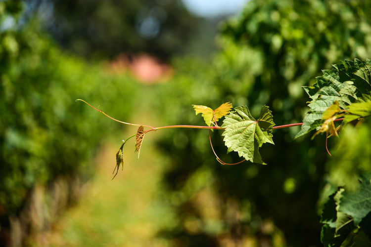 ezefer Plant Growth Focus On Foreground Plant Part Leaf Green Color Close-up Nature Beauty In Nature No People Day Tree Outdoors Tranquility Freshness Selective Focus Fragility Vulnerability  Plant Stem Sunlight Leaves Jundiaí Vineyard Vinery