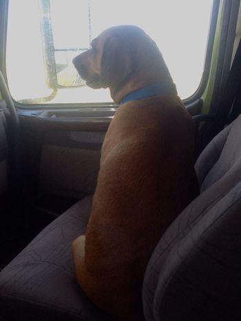 Precious copilot With Precious Canadian Sight Seeing Rhodesian Ridgeback Cross
