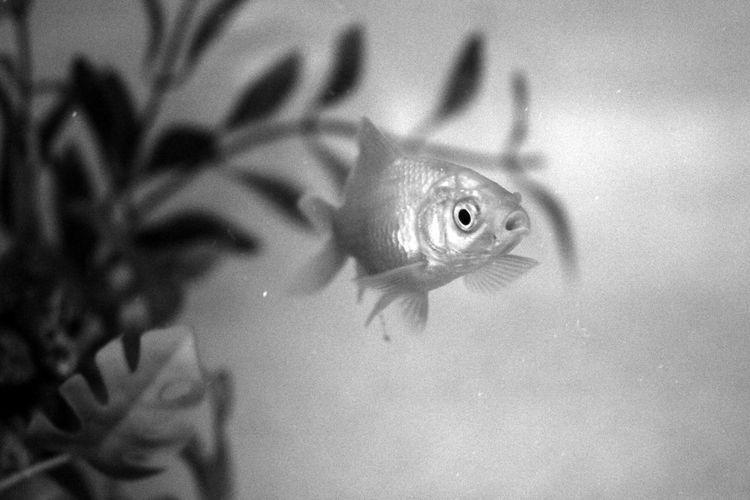 Fish Black And White Black&white Blackandwhite Swimming Close-up Blackandwhite Photography Bnw Eye4photography  EyeEm Best Shots EyeEmBestPics Fish Tank Minimalism Minimalist Minimalobsession EyeEm Fresh Water Fish Taking Photos Portugal