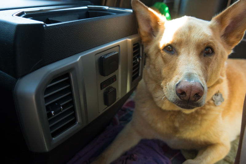 Traveling with a dog in the car Transportation Traveling Animal Themes Car Close-up Day Dog Domestic Animals Home Interior Indoors  Looking At Camera Mammal No People One Animal Pet Pets Portrait Traveling With Pets