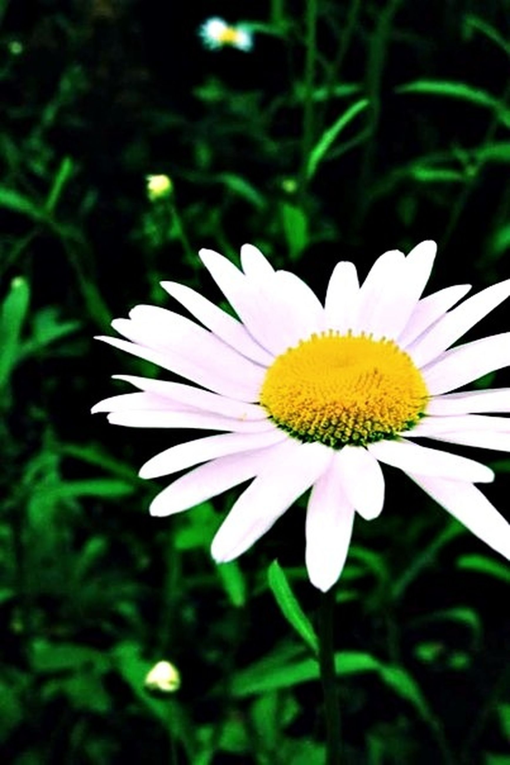 flower, petal, freshness, flower head, fragility, growth, beauty in nature, daisy, white color, pollen, blooming, yellow, close-up, single flower, nature, focus on foreground, plant, in bloom, outdoors, day
