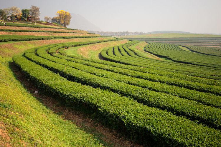 Scenic View Of Tea Plantation Landscape Against Sky