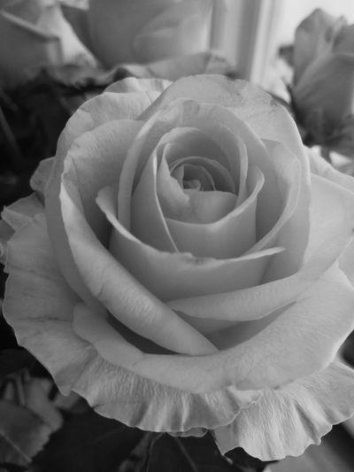 Mate 9 Pro Blackandwhite Roses Flower