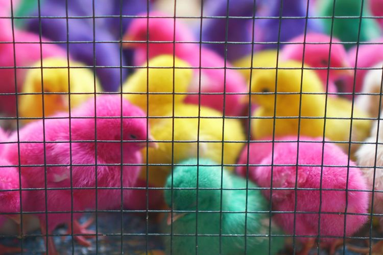 Full Frame Shot Of Colorful Chicks In Cage