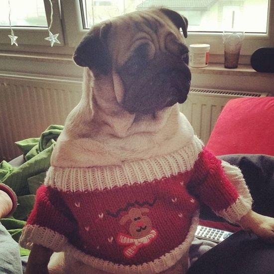 Ready for Christmas!! LuLu Luluthepug Mops Carlino Pug Puglife Pugsofinstagram Dogsofinstagram Puppy Puglove  Puglife Pugstagram Pet Flatnosedogsociety Christmas Natale  Božic
