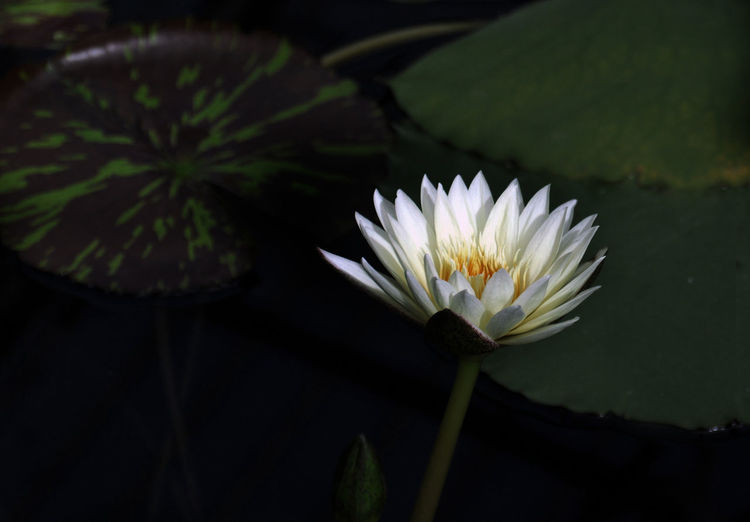 Perspectives On Nature Beauty In Nature Blooming Close-up Day Flower Flower Head Fragility Freshness Green Color Growth Kew Gardens, London Leaf Lily Pond Lotus Water Lily Nature No People Outdoors Petal Plant Pollen Water Lily White Color