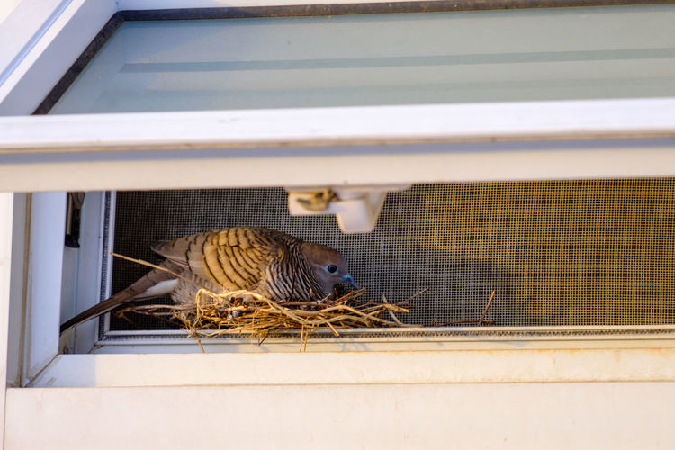 Close-Up Of Bird Making Nest By Window