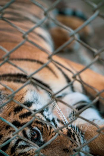 Close-up of tiger seen through chainlink fence
