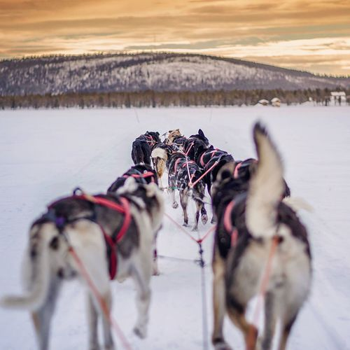 Rear View Of Sled Dogs On Field During Winter