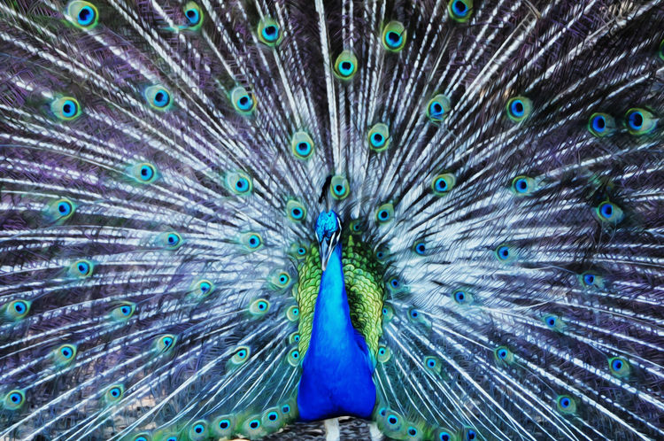 bloom of feathers Abstract Beauty In Nature Bird BlueEyes Colors Exquisite Beauty Feather  Green Feather Nature Peacock Taking Photos Whie Fea