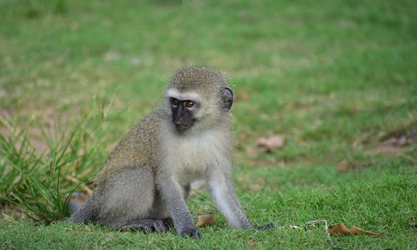 Baby Vervet Monkey Portrait Closing Looking At Camera Grass Close-up Green Color Primate Monkey Tail Lemur