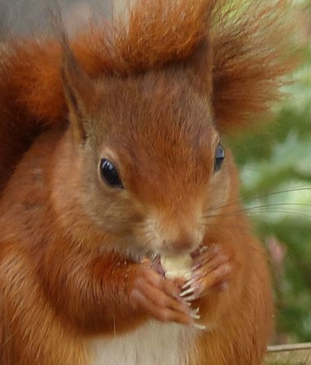 red squirrel in garden at home. One Animal Animals In The Wild Wildlife Mammal Animal Head  Close-up Zoology Animals In The Wild Red Squirrel