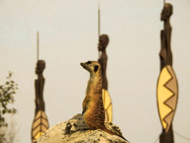 Cute Surikata Zoo Photograph