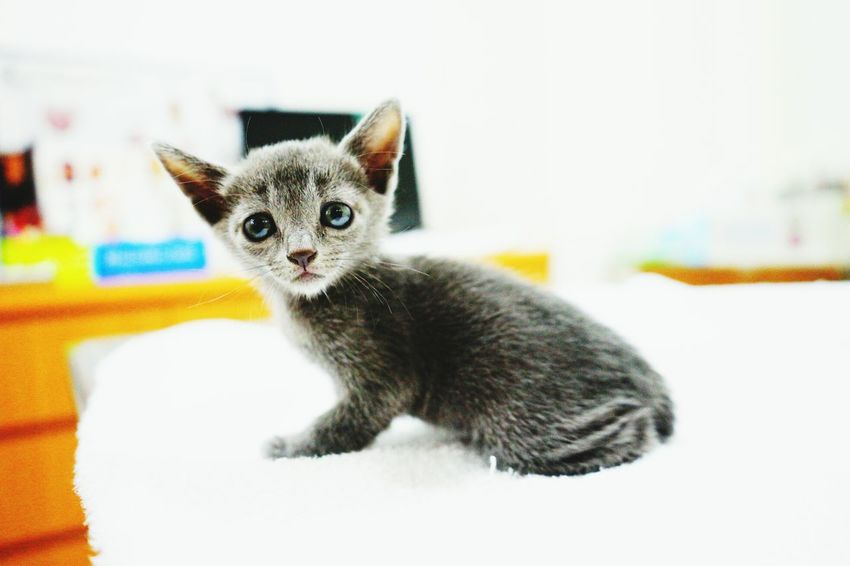 我的小藍貓 Taiwan Taichung My Cat