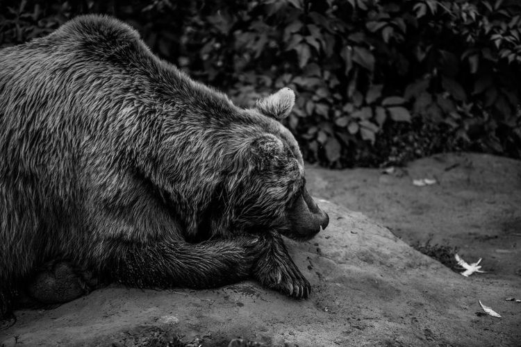 Big 'n Bad Blackandwhite Black And White Black & White Animal Themes Bear Sleeping Resting Zoo Day EyeEm Best Shots EyeEmNewHere Enjoying Life EyeEm Nature Lover EyeEm Selects EyeEm Gallery Eye4photography  First Eyeem Photo Hanging Out Mammal Close-up Animals In Captivity Napping Grizzly Bear
