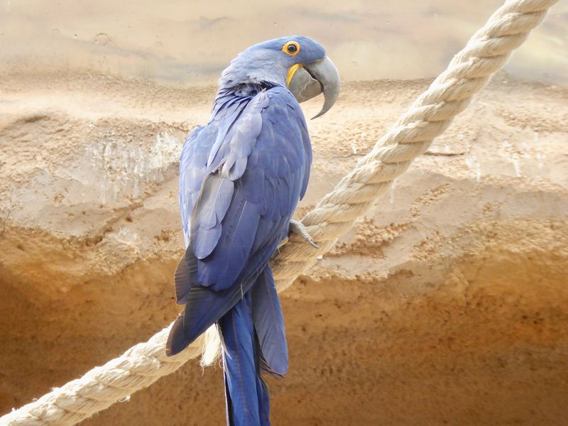 Animal Wildlife Beak Bird Blue Macaw Blue Parrot Close-up Hyacinth Macaw Jungle Large Parrots Macaws Nature No People One Animal Parrot Perching South American Birds Tropical Birds Tropical Climate Tropicana