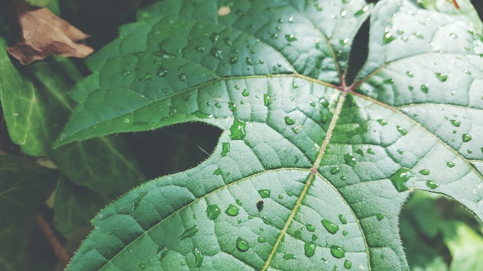 Green Nature Green Leaves🌿 Summer Summer16 Daytime 2016 Raindrops After The Rain After Rain Nature Nature_collection No People Day Outdoors Outdoor Photography Leaf Close-up EyeEm Nature Lover EyeEm Best Shots Beauty In Nature Beatiful Nature Long Goodbye The Great Outdoors - 2017 EyeEm Awards EyeEmNewHere EyeEm Selects