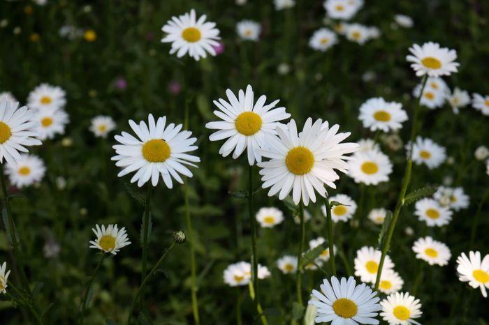 Prästkragar Prästkragar Flower Nature White Color Blooming Day Outdoors No People Nature Flowers Summertime Stockholm Sweden Godaminnen Photography